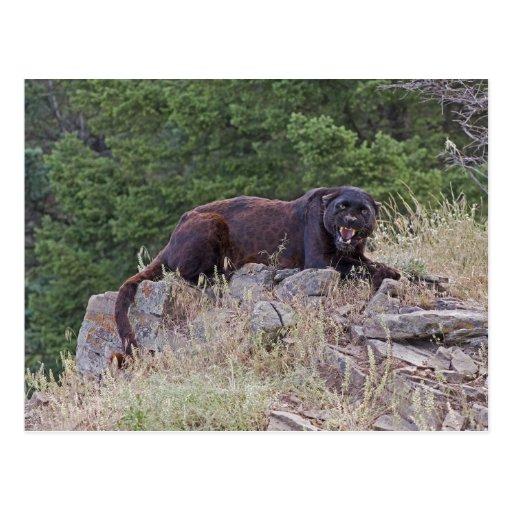 Black Leopard Postcard