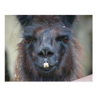 Black Llama Farm Animal Nature Photo Postcard