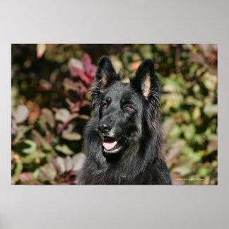 Black Long Haired German Shepherd Poster