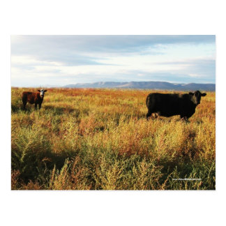 Black Mama Cow and White Face Red Calf Post Cards