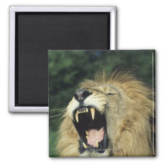 Black-maned male African lion yawning 2 Inch Square Magnet