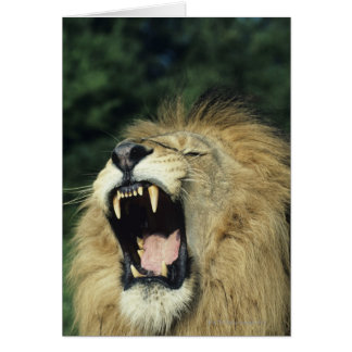 Black-maned male African lion yawning Card