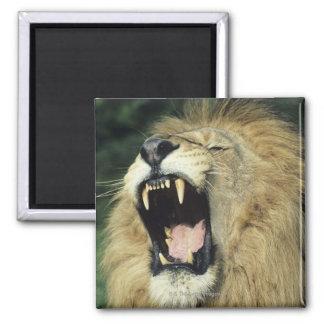 Black-maned male African lion yawning, headshot, 2 Inch Square Magnet