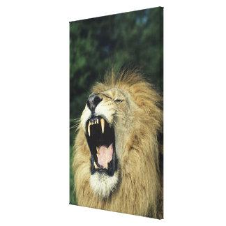Black-maned male African lion yawning, headshot, Canvas Print