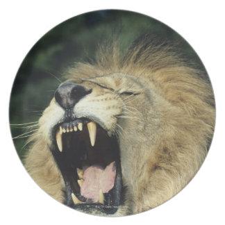 Black-maned male African lion yawning, headshot, Dinner Plate