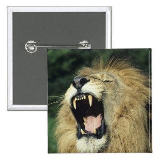 Black-maned male African lion yawning, headshot, Pinback Button