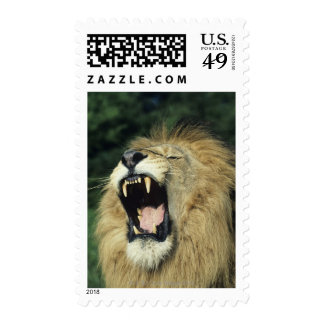 Black-maned male African lion yawning, headshot, Postage