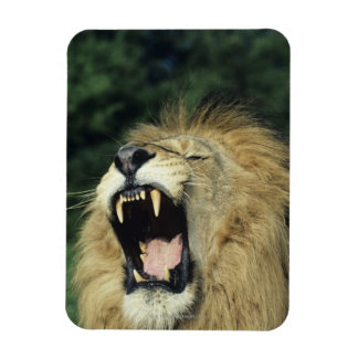 Black-maned male African lion yawning, headshot, Rectangular Photo Magnet