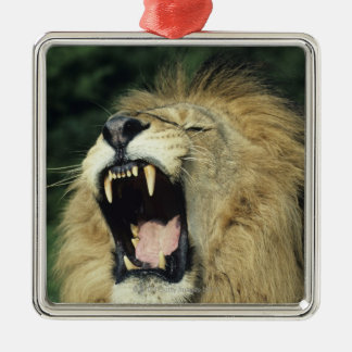 Black-maned male African lion yawning Christmas Tree Ornaments
