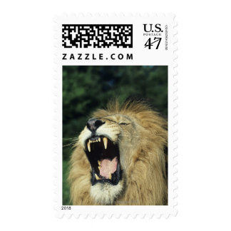 Black-maned male African lion yawning Postage