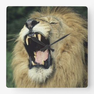 Black-maned male African lion yawning Square Wall Clock