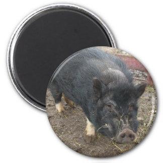 Black miniature pig 43a 2 inch round magnet
