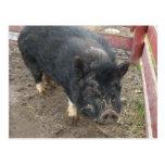 Black miniature pig 43a postcard