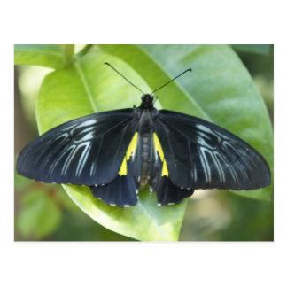 Black Monarch Postcard