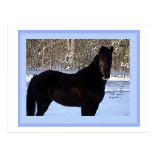 Black Morgan horse in snow Postcard