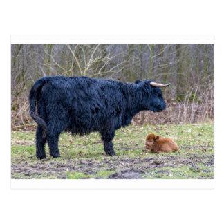 Black mother scottish highlander cow with calf postcard