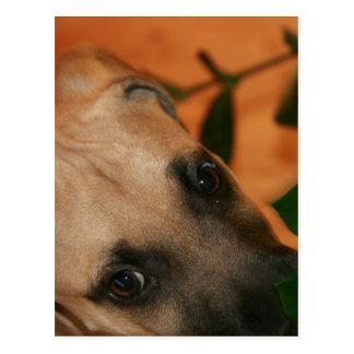 Black-mouth cur puppy postcard