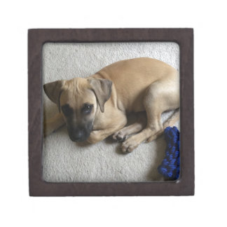 Black-mouth cur puppy with blue toy premium gift box
