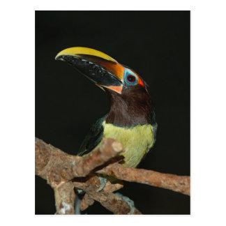 Black-necked aracari postcard