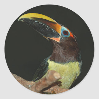 Black-necked aracari Toucan Classic Round Sticker