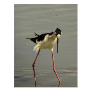 Black-necked Stilt 2 Postcard