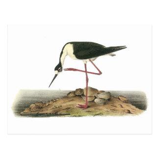 Black-necked Stilt by Audubon Postcard
