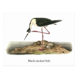 Black-Necked Stilt, John Audubon Postcard
