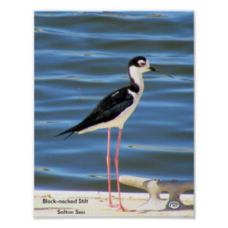 Black-necked Stilt Poster