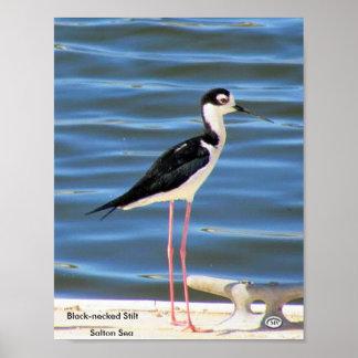 Black-necked Stilt Poster