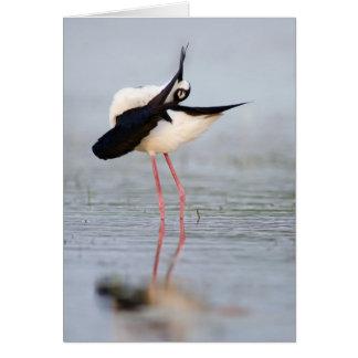 Black-necked Stilt Preening Card