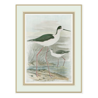 Black-Necked Stilts by the Water Postcard