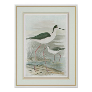 Black-Necked Stilts by the Water Poster