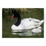 Black-necked swan adult and cygnets in water. greeting card