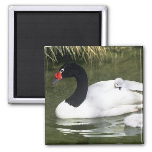 Black-necked swan adult and cygnets in water. 2 inch square magnet