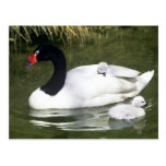Black-necked swan adult and cygnets in water. postcard