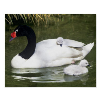 Black-necked swan adult and cygnets in water. poster