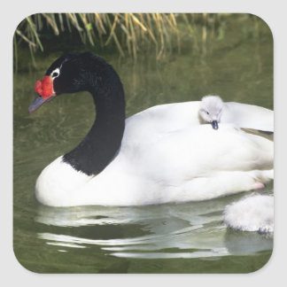 Black-necked swan adult and cygnets in water. square sticker