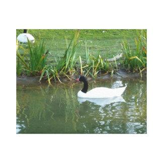 Black Necked Swan Canvas Print