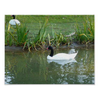 Black Necked Swan Poster