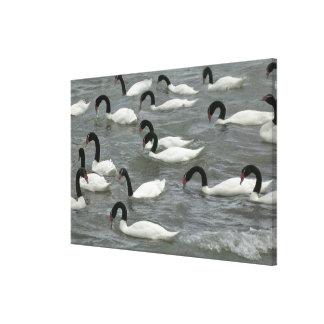 Black-necked swans (Cygnus melancoryphus) on Canvas Print