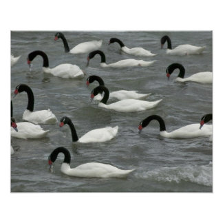 Black-necked swans (Cygnus melancoryphus) on Poster