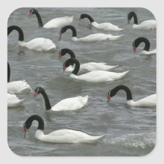 Black-necked swans (Cygnus melancoryphus) on Stickers