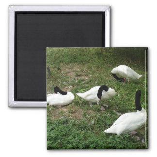 Black-Necked Swans Magnet