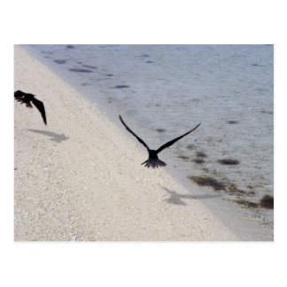 Black Noddy (Anous minutus) Postcard