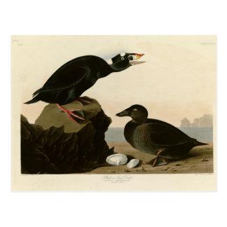Black or Surf Duck Postcard