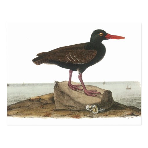 Black Oystercatcher, John Audubon Postcard