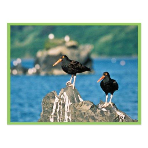 Black oystercatchers postcard