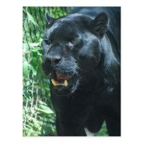 Black Panther Cat  Postcard