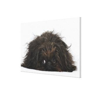 Black Pekingese dog lying down Canvas Print