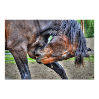 Black Percheron Gelding Horse Preening Photo Poster